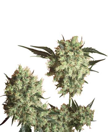 Ccannabis Marleys Collie